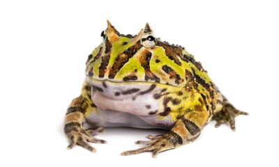 Rana pacman allevamento e cure argentine horned frog ceratophrys ornata isolated PU7XTVC 1 1 1 400x240