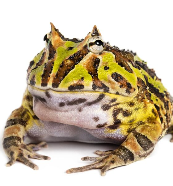 Rana pacman allevamento e cure argentine horned frog ceratophrys ornata isolated PU7XTVC 1 1 1 560x600
