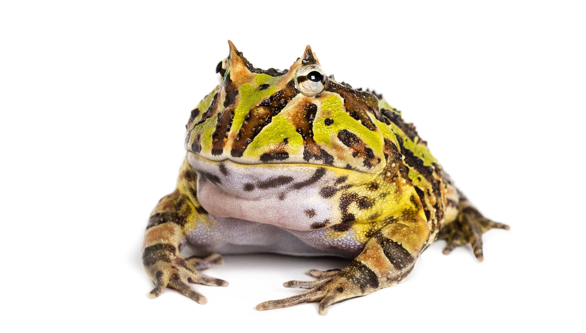 Rana pacman allevamento e cure argentine horned frog ceratophrys ornata isolated PU7XTVC 1 1 1